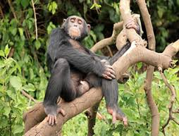 chimpanzee in budongo forest