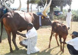 INYAMBO COWS