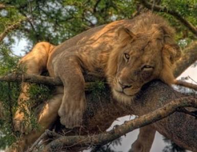 tree-climbing lions-queen Elizabeth