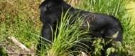 trekking gorilla