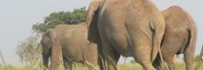 uganda-elephants