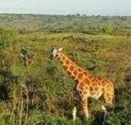uganda safari attraction