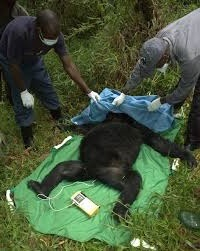 vets attending a gorilla