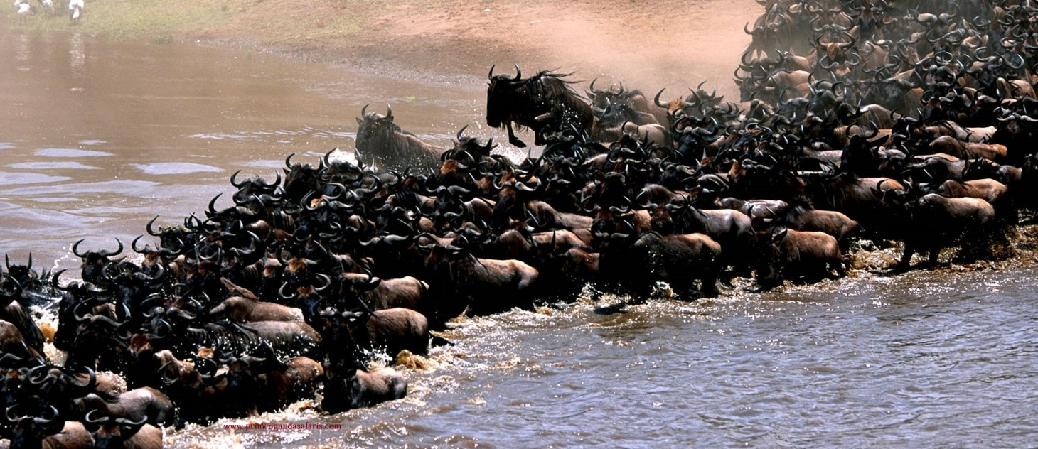The wildebeest crossing the river