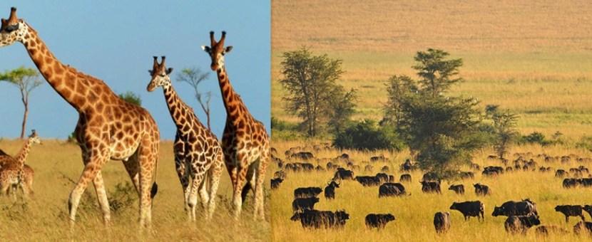 wildife-kidepo-valley-np-uganda-safari
