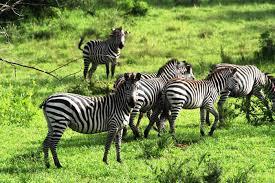zebra- wildlife safaris in uganda