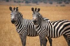zebras in Akagera np Rwanda