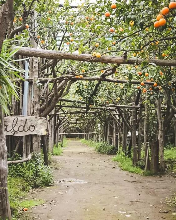 cytryny z Amalfi, co zobaczyć w Amalfi, Amalfi, ogrody cytrusowe, zwiedzanie Amalfi, limoncello