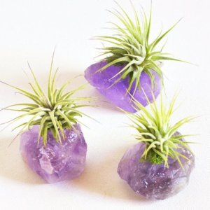 Air Plant on Purple Amethyst