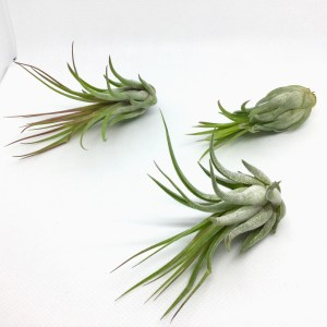 Tillandsia Ion ScaposaA