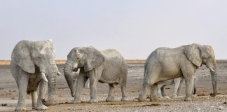 An image of four elephants walking along a muddy field.