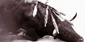 An image of a bull dying in a bullfight.