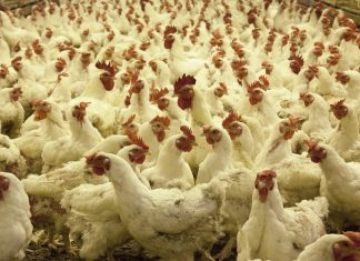 An image of chickens at a poultry farm