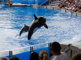Photograph of two orcas leaping with a crowd watching