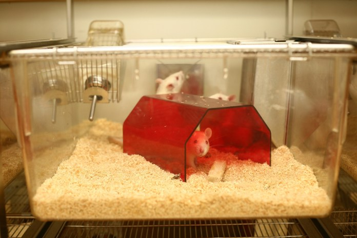 Photo of three rats in a cage with a little red house and food and water available