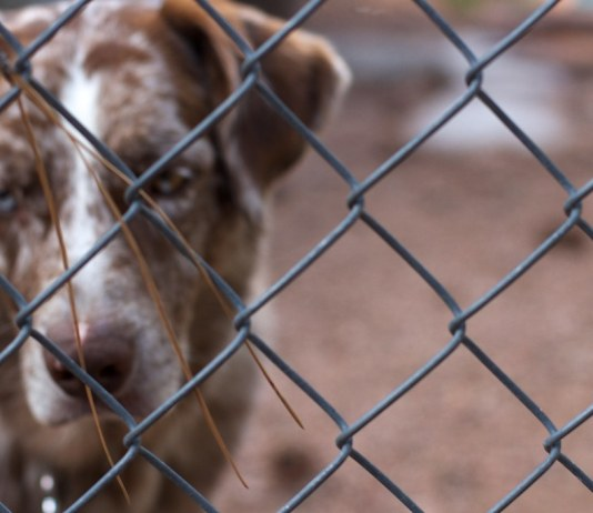 photograph of dog's face behind chain-link fence