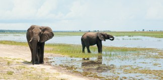 photograph of two elephants on marshy plains