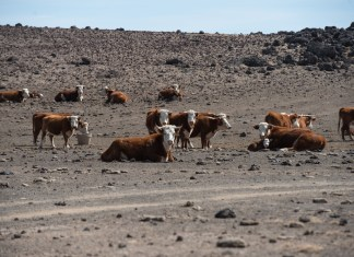 photograph of cows in empty arid desert