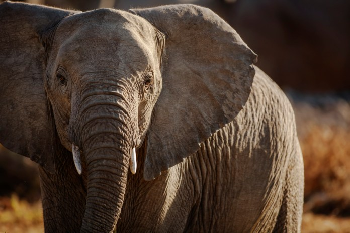 close-up photograph of elephant in the wild