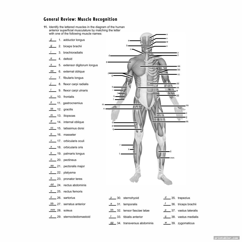 Muscles Of The Human Body Diagram Worksheet