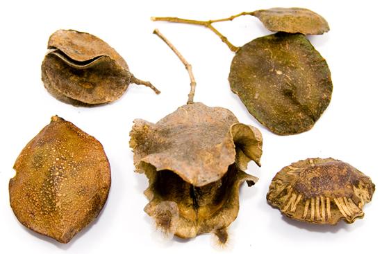 Thumbnail for Botany Blueprint: The Jacaranda