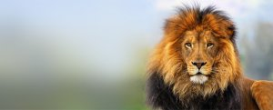 Fast Facts Lion