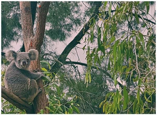 buscando koalas en libertad