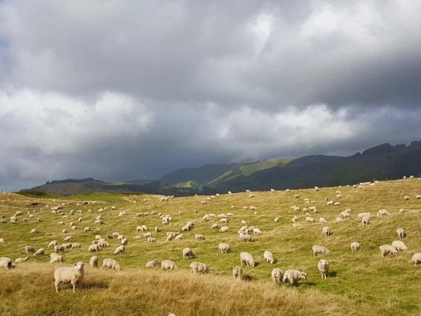 ovejas en Nueva Zelanda, estampa típica