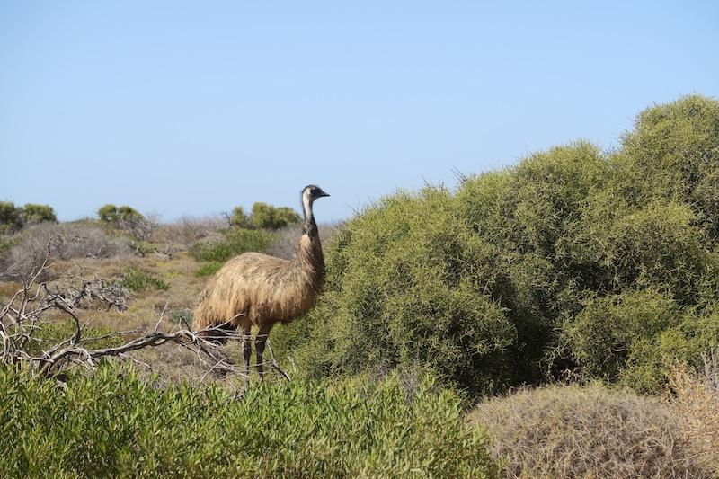 35_emu