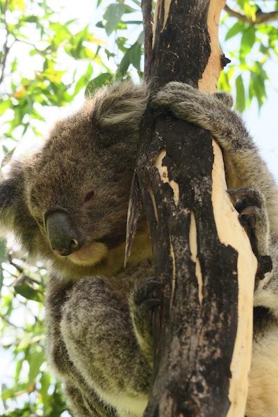 35_koala