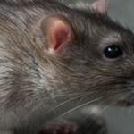rat traps in Chadderton