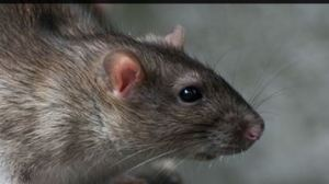 Rat-Control-Service-In-Moston