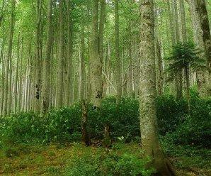 Буковые леса Карпат – картина первозданной природы