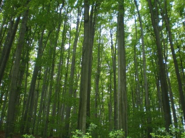 Буковые леса Карпат