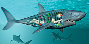Фабьен Кусто и акулы