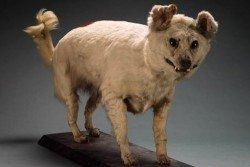 Extinct-Breeds-of-Dogs-Kuri
