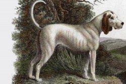 TalbotHound-Extinct-Breeds-of-Dogs