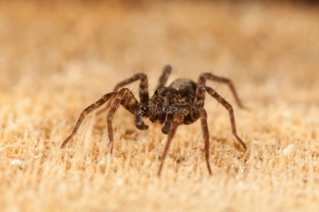 nejjedovatější pavouci světa