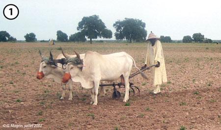 Sénégal-Les territoires de l'élevage-L'élevage et le zonage agro-climatique-Un agriculteur avec son attelage vers Koungheul