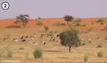 Sénégal-Les territoires de l'élevage-L'élevage et le zonage agro-climatique-Troupeau vers Taredji