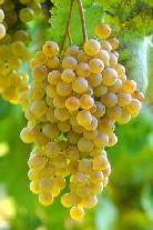 uva cortese vini