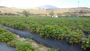 campo di fragoline dell'Etna