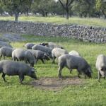 cerdo ibérico en la dehesa
