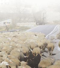 ovejas-en-la-niebla