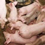 cotizaciones del lechón en Mercollieda