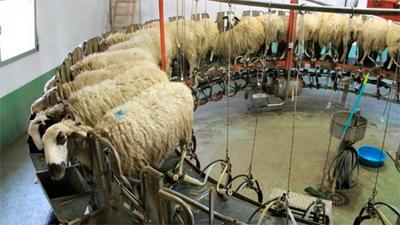El ovino, ejemplo de unión para vender su leche