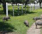 MSD Animal Health forma a los profesionales del cerdo Ibérico en Zafra