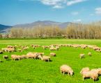El pedero: Cómo afecta a la producción del ovino y cómo tratarlo