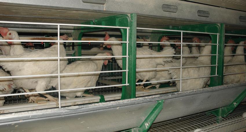 gallinas bienestar