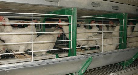 Servicios Zoetis de campo para la industria avícola
